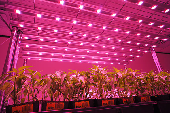 lights marijuana growing for indoor led grow lighting