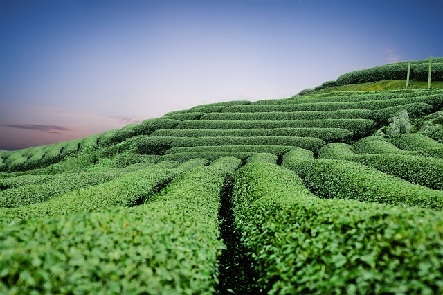 tea plants growing under sunlight